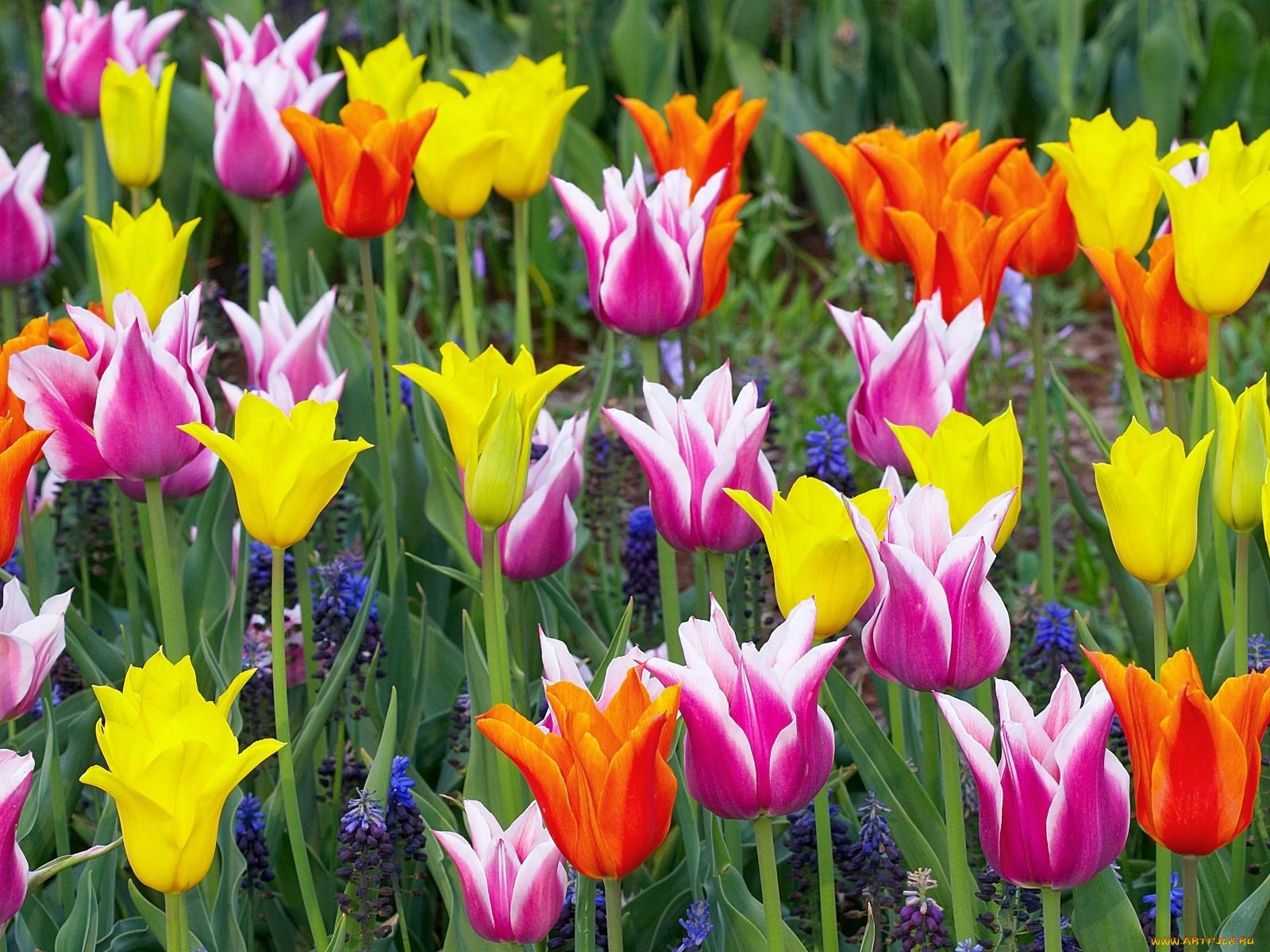Картинки тюльпан цветы с названиями